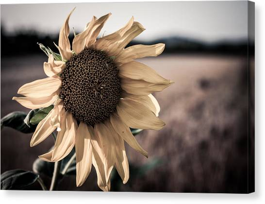 Sunflower Solitude Canvas Print