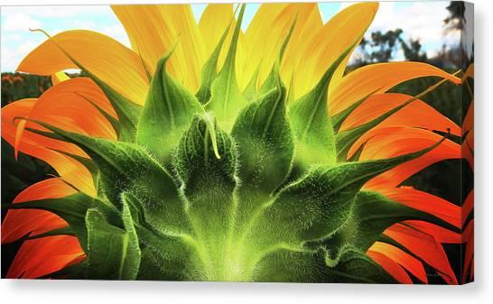 Sunflower Sunburst Canvas Print