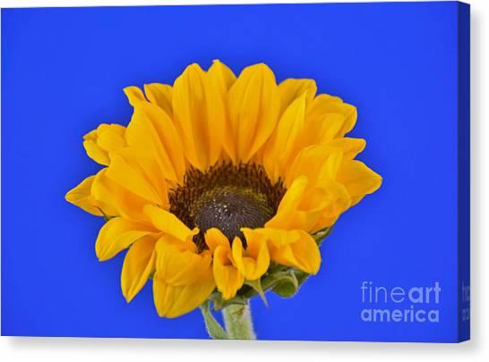 Sunflower Sunshine 406-6 Canvas Print