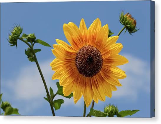 Sunflower Surprise Canvas Print by Robert Ullmann