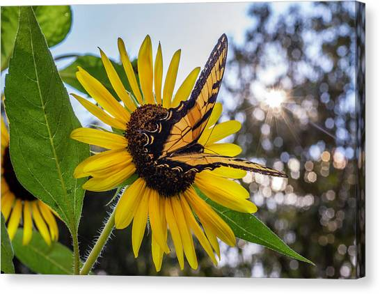 Sunflower Swallowtail Canvas Print