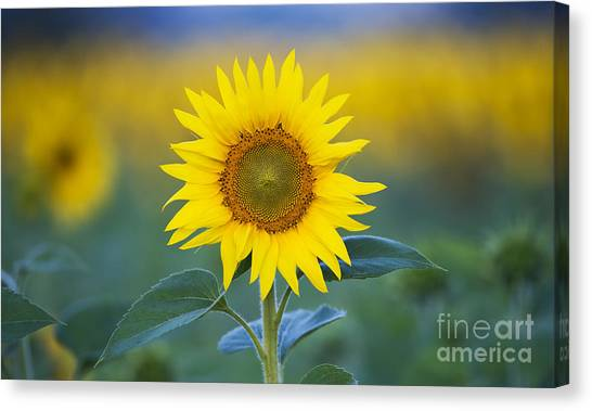 Sunflowers Canvas Print - Sunflower by Tim Gainey