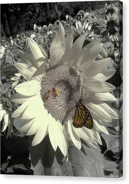 Sunflower Tint Canvas Print