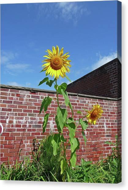 Sunflower Under Blue Skies Canvas Print by Margie Avellino