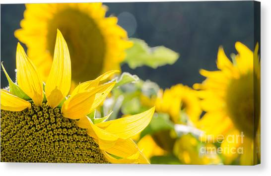 Sunflowers 14 Canvas Print