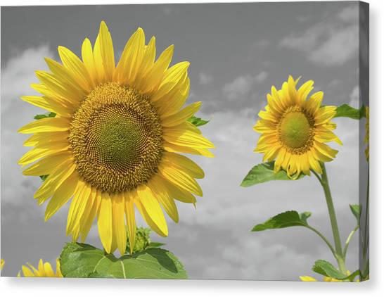 Canvas Print featuring the photograph Sunflowers V by Dylan Punke