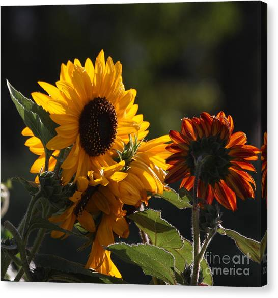 Sunflowers 8 Canvas Print