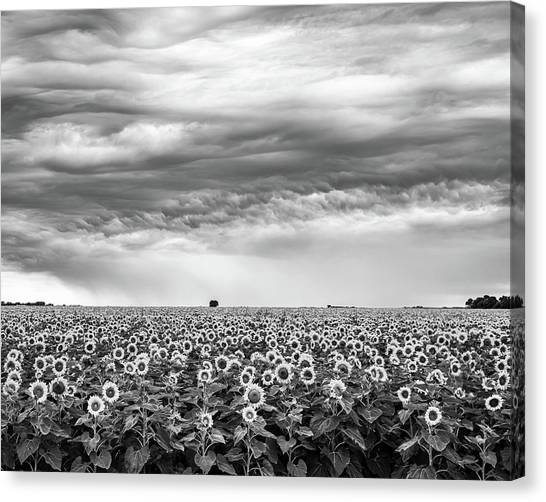 Sunflowers And Rain Showers Canvas Print