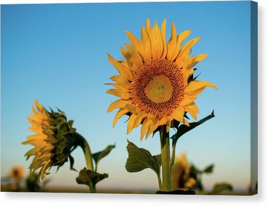 Sunflowers At Sunrise 1 Canvas Print
