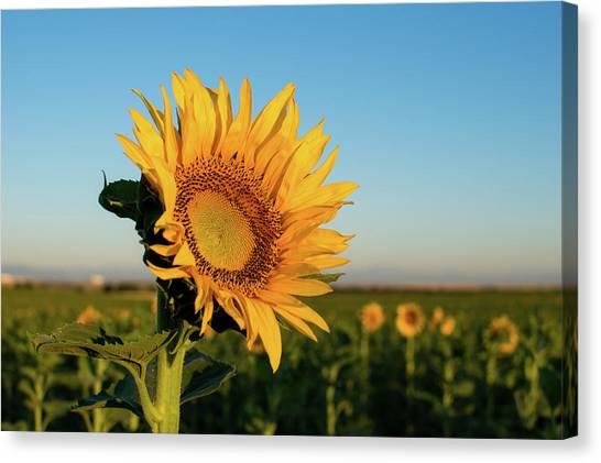 Sunflowers At Sunrise 2 Canvas Print