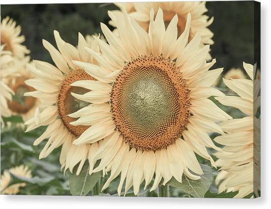 Sunflowers Detail Canvas Print