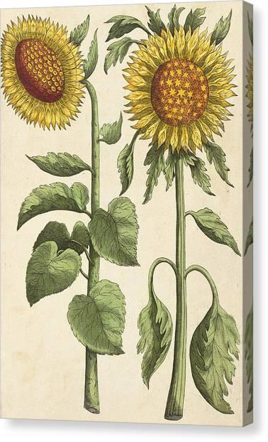 Baroque Canvas Print - Sunflowers Illustration From Florilegium by Emanuel Sweert