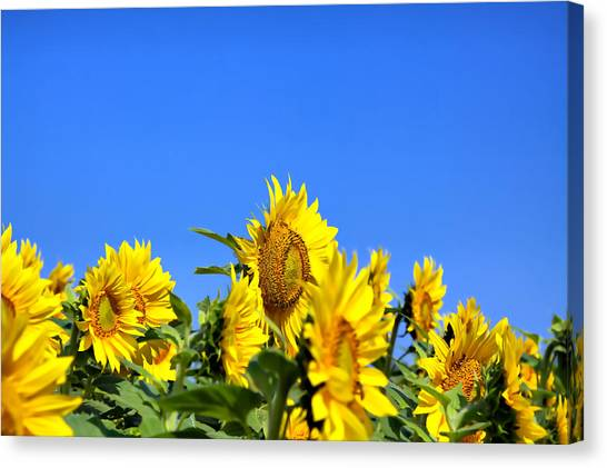 Sunflowers Canvas Print by Gary Smith