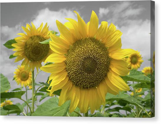 Canvas Print featuring the photograph Sunflowers IIi by Dylan Punke