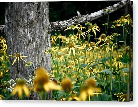 Sunflowers In North Carolina 2 Canvas Print by Jonathan Hansen