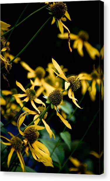 Sunflowers In North Carolina Canvas Print by Jonathan Hansen