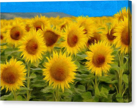 Sunflowers In The Field Canvas Print