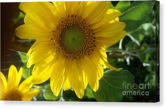 Sunflowers-just Bloomed Canvas Print