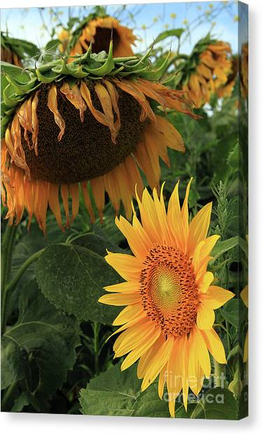 Sunflowers Past And Present Canvas Print