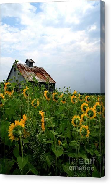 Sunflowers Rt 6 Canvas Print
