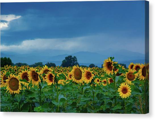 Sunflowers Under A Stormy Sky Canvas Print