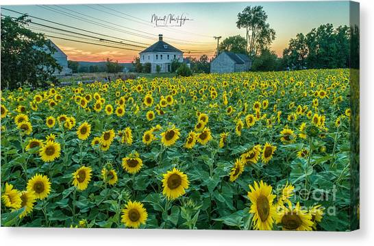 Sunflowers For Wishes  Canvas Print