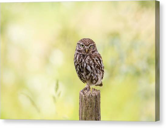 Owls Canvas Print - Sunken In Thoughts - Staring Little Owl by Roeselien Raimond