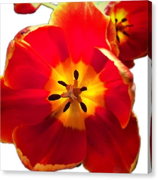 Sunkissed Tulips Canvas Print