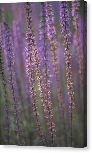 Sunlight On Lavender Canvas Print