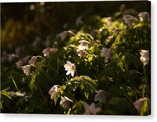 Sunlight Filtering Through The Trees Onto The Daisies. Canvas Print