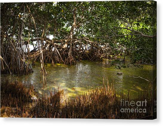 Mangrove Trees Canvas Print - Sunlight In Mangrove Forest by Elena Elisseeva