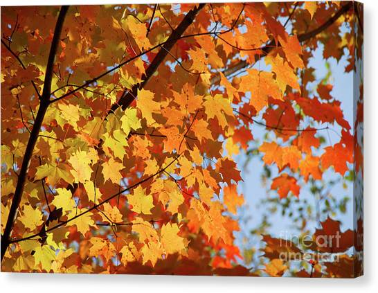 Canvas Print featuring the photograph Sunlight In Maple Tree by Elena Elisseeva