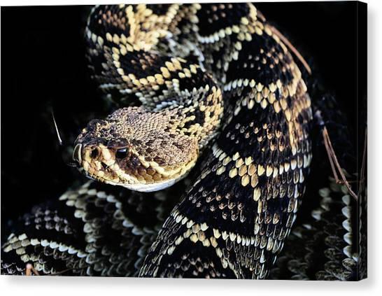 Poisonous Snakes Canvas Print - Sunlit Diamondback by JC Findley