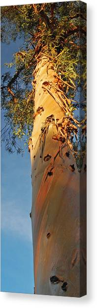 Sunlit Eucalyptus Canvas Print by Jean Booth