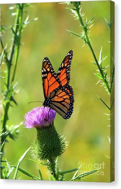 Sunlit Monarch  Canvas Print