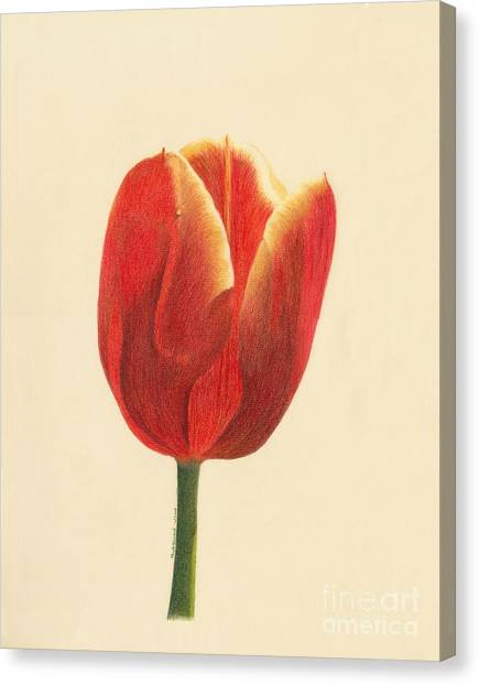 Canvas Print featuring the drawing Sunlit Tulip by Phyllis Howard