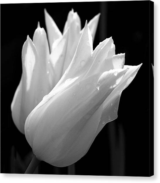 Canvas Print - Sunlit White Tulips by Rona Black