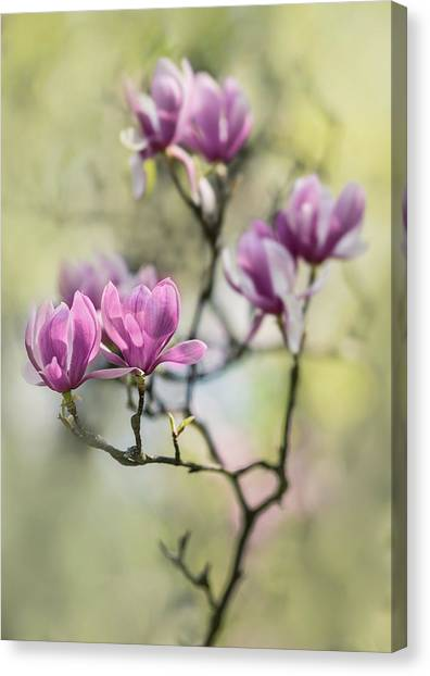 Sunny Impression With Pink Magnolias Canvas Print
