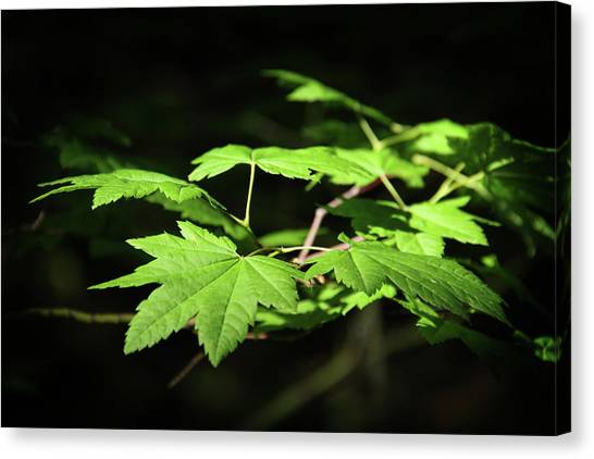 Sunny Summer Maple Canvas Print