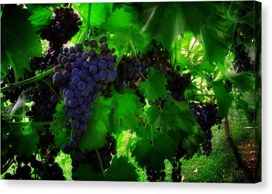Sunrise In The Vineyard Canvas Print