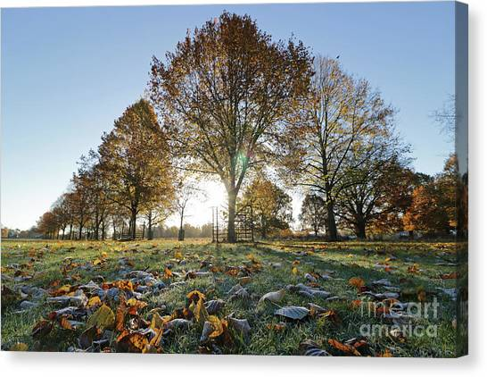 Sunrise Through Lime Trees Canvas Print
