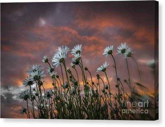 Sunset And Daisies Canvas Print