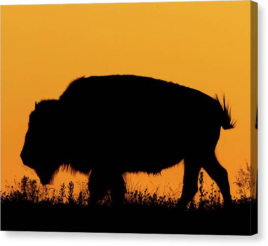 Sunset Bison 2 Canvas Print