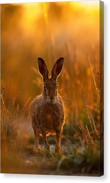 Sunset Hare Canvas Print
