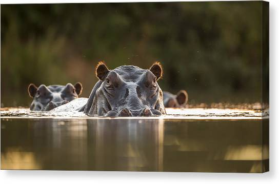 Hippos Canvas Print - Sunset Pool by Hillebrand Breuker