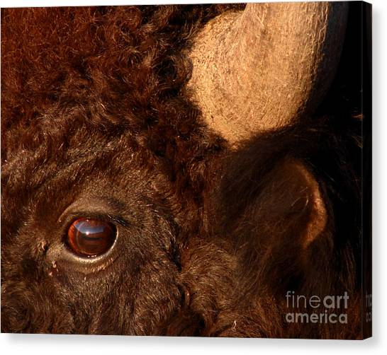 Sunset Reflections In The Eye Of A Buffalo Canvas Print