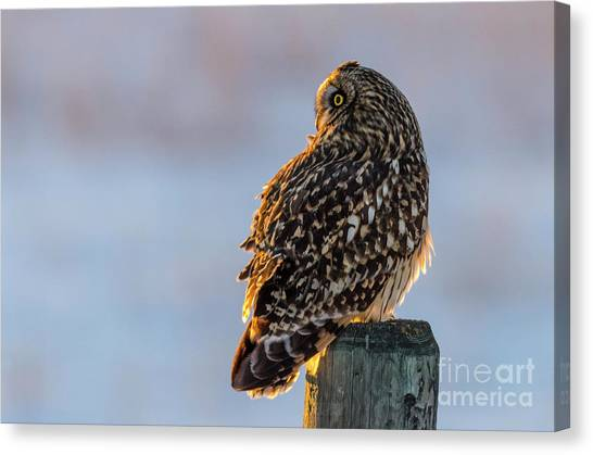 Sunset Short-eared Owl Canvas Print