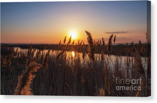 Marsh Grass Canvas Print - Sunset Through The Wheat  by Michael Ver Sprill