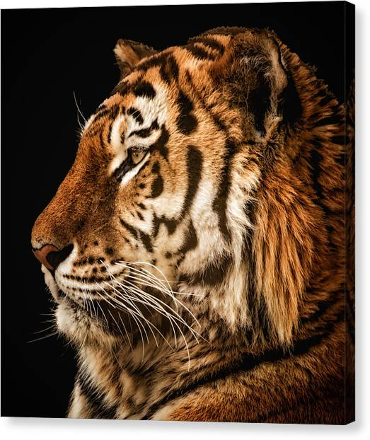 Sunset Tiger Canvas Print