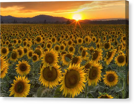 Sunflower Seeds Canvas Print - Sunshine And Happiness by Mark Kiver